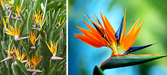 Image of 1gal Bird Of Paradise