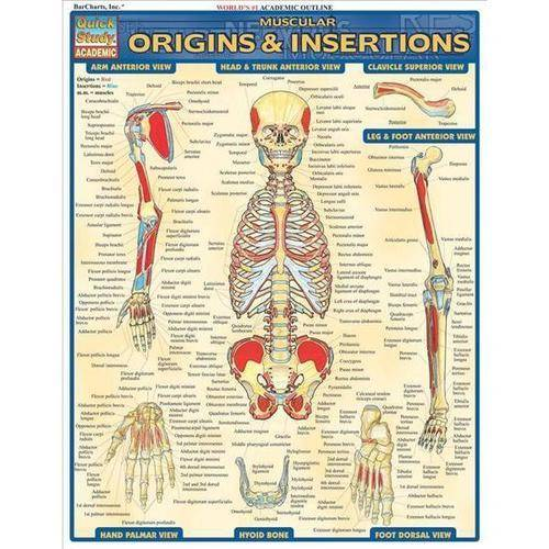 Muscular Origins & Insertions Reference Guide