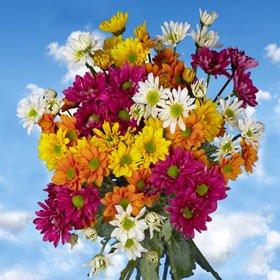 GlobalRose 72 Assorted Fresh Cut Chrysanthemums Daisies Flowers - Fresh Flowers For Birthdays, Weddings or Anniversary. ()