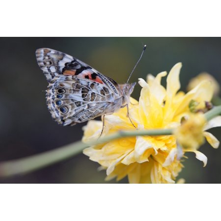 Canvas Print Butterfly Bloom Blossom Painted Lady Close Stretched Canvas 10 x 14