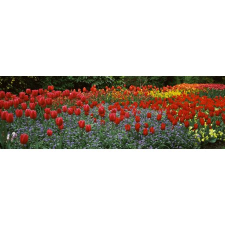 Tulips blooming in a garden St Jamess Park City Of Westminster London England Canvas Art - Panoramic Images (6 x 18)](Bloons City)