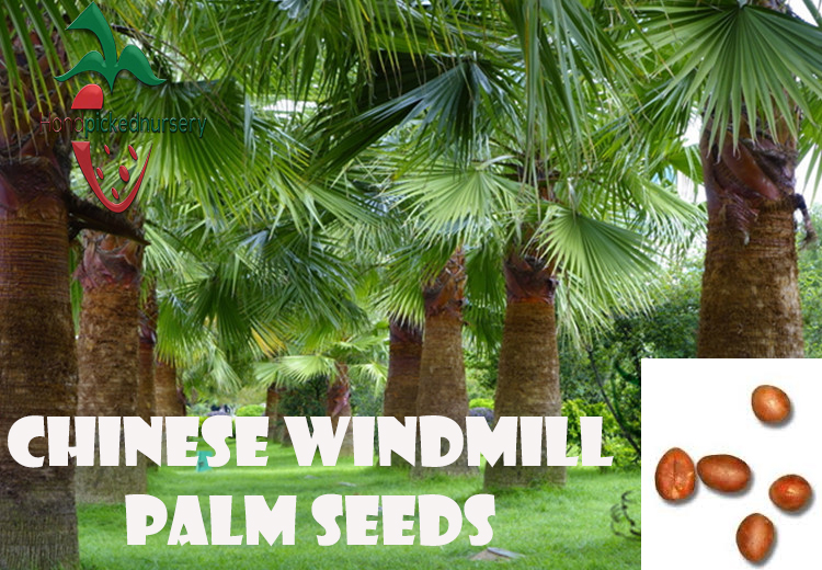 10 Chinese Windmill Palm seeds, ( Trachycarpus fortunei ) from Hand Picked Nursery by Hand Picked Nursery