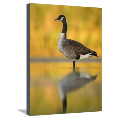 Portrait of Canada Goose Standing in Water, Queens, New York City, New York, USA Stretched Canvas Print Wall Art By Arthur Morris