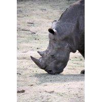 LAMINATED POSTER Big Game Animal Wild Animal Africa Rhino Poster Print 11 x 17