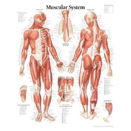 Muscular System Male Educational Chart Poster - 22x28
