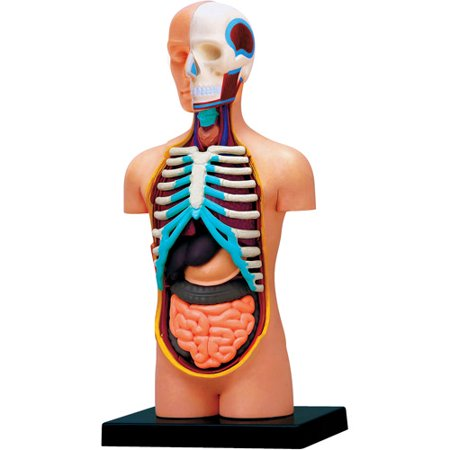 4D Vision Human Torso Anatomy Model - Anatomy Games