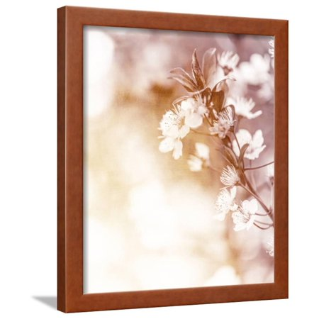 White Cherry Flowers on Sunny Day, Floral Branch of Blooming Tree in the Garden Framed Print Wall Art By Anna (Tree Branch Framed)
