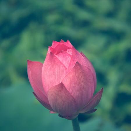 LAMINATED POSTER Lotus Flower Pink Petals Water Plant Flower Lotus Poster Print 24 x 36