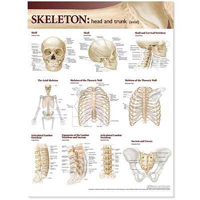 Lippincott Williams Wilkins Atlas Of Anatomy Skeletal System Chart