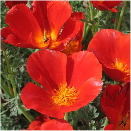 Packet Of 2 000 Seeds Red Chief California Poppy Eschscholzia Californica Open Pollinated By Seed Needs