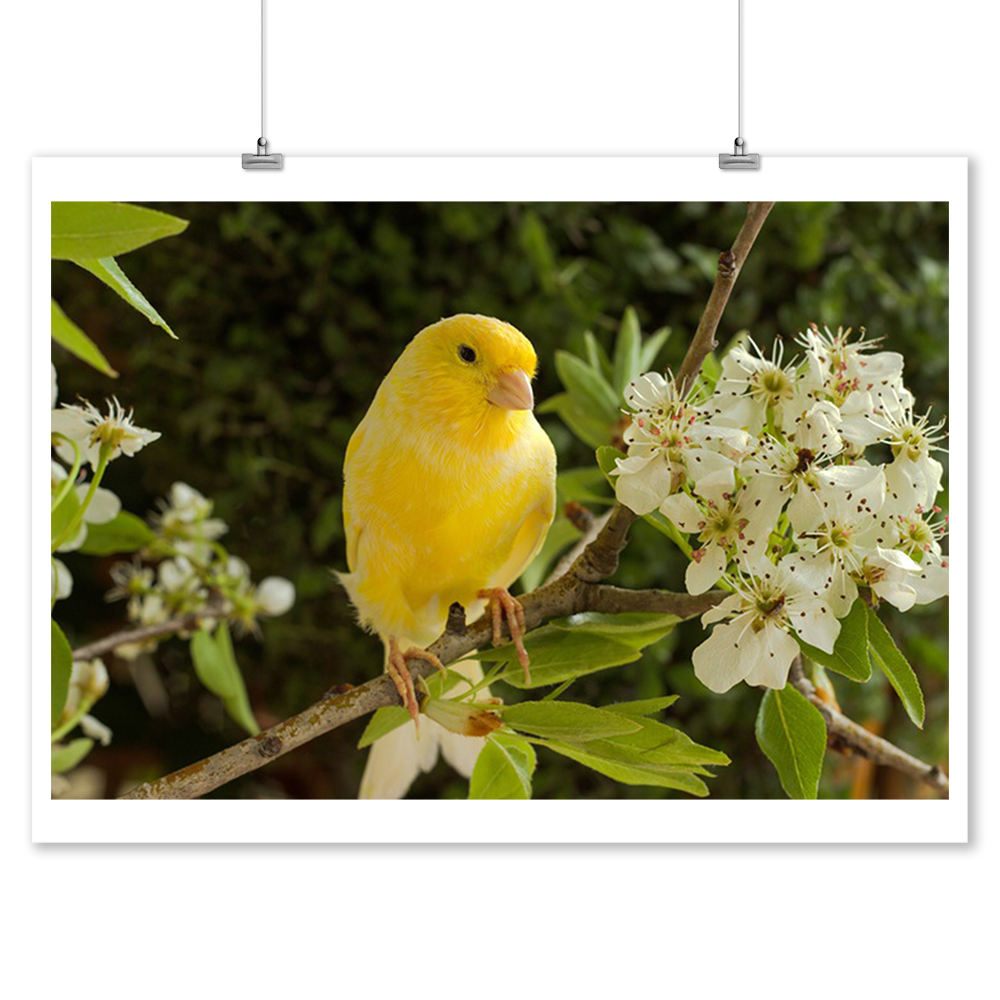Canary On A Branch Of A Flowering Pear Photography A-90679