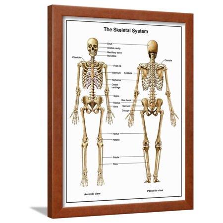 Full-Body Anterior and Posterior Anatomy of the Human Skeletal System Framed Print Wall Art By Nucleus Medical