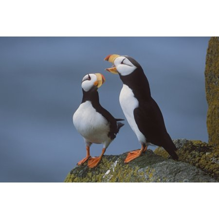 Bristol Bay One Light (Horned Puffin Pair On Ledge With One Calling In Courtship Display Round Island Walrus Islands State Game Sanctuary Bristol Bay Southwest Alaska Canvas Art - Milo Burcham  Design Pics (38 x 24))