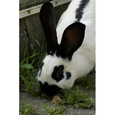 Canvas Print Stall Hase Ears Nager Black and White Hare Stretched Canvas 10 x 14 (Hares Ear Olive)