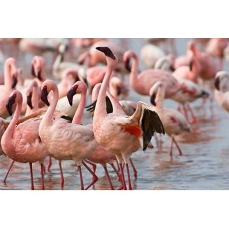 Kenya Lake Nakuru Flamingo Tropical Birds Canvas Art   Jaynes Gallery  Danitadelimont  17 X 11