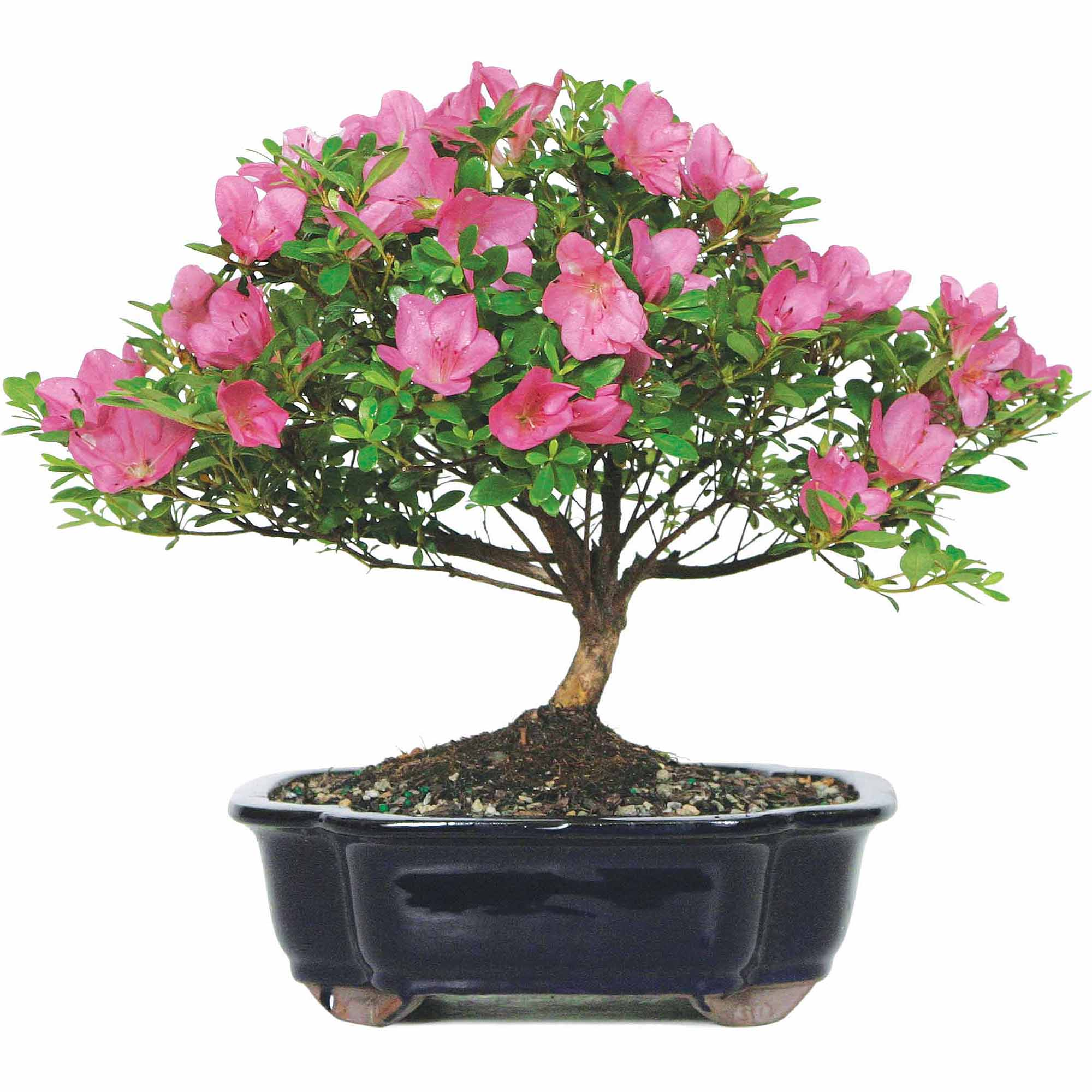 Brussel's Satsuki Azalea Bonsai Large (Outdoor) by Brussel's Bonsai