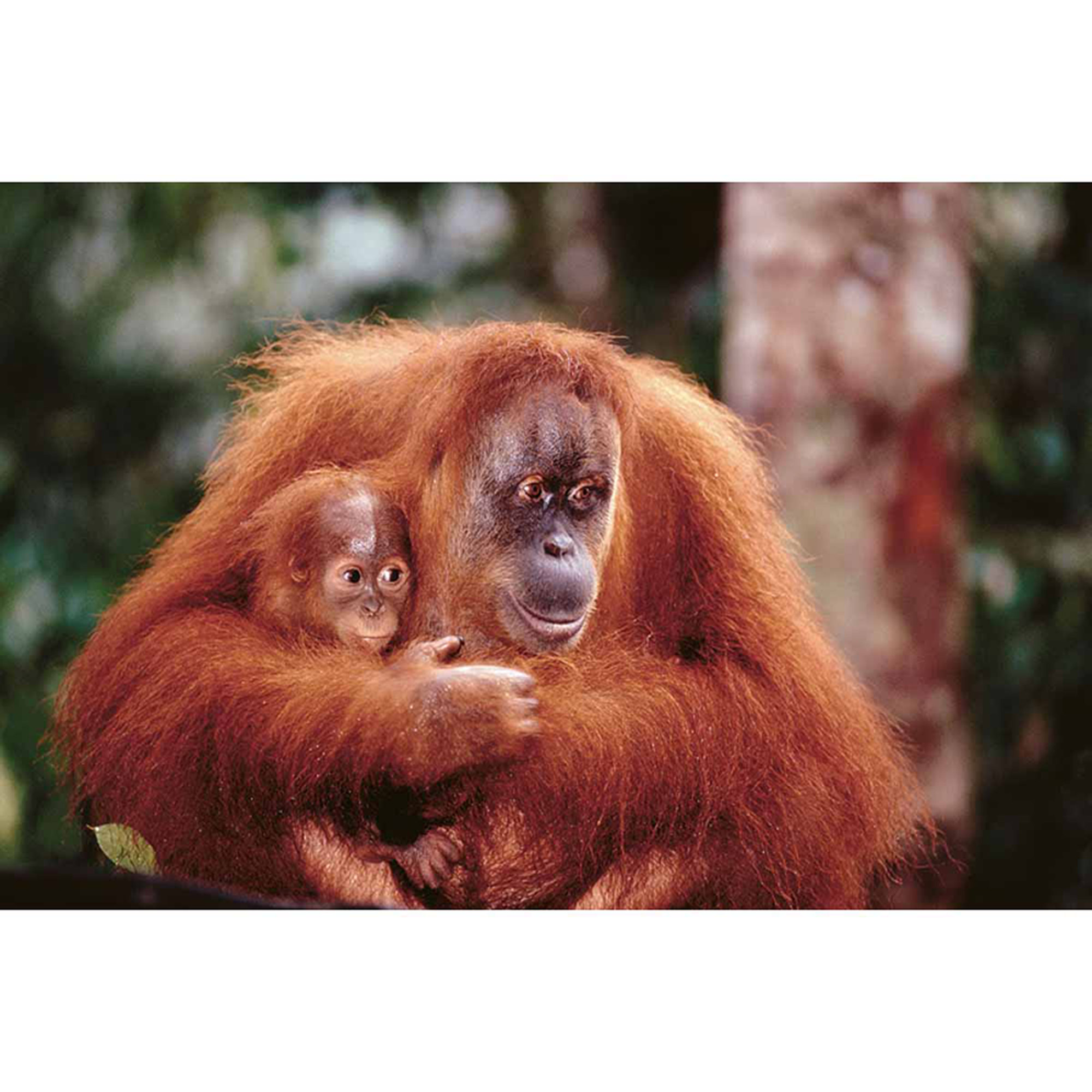 Orangutan And Baby Photography Art