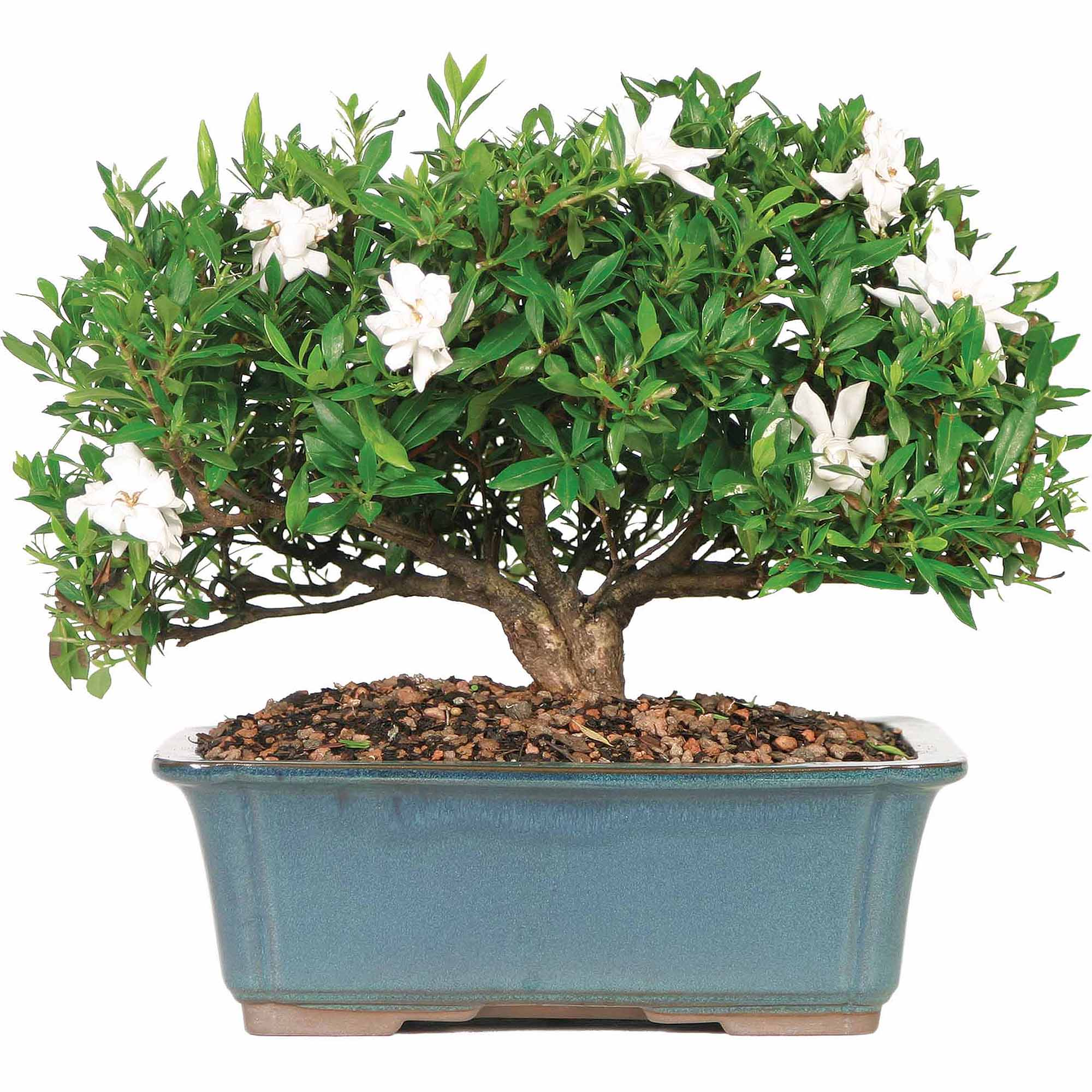Brussel's Gardenia Bonsai Large (Outdoor) by Brussel's Bonsai