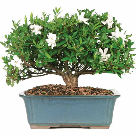 Image of Brussel's Gardenia Bonsai - Large - (Outdoor)