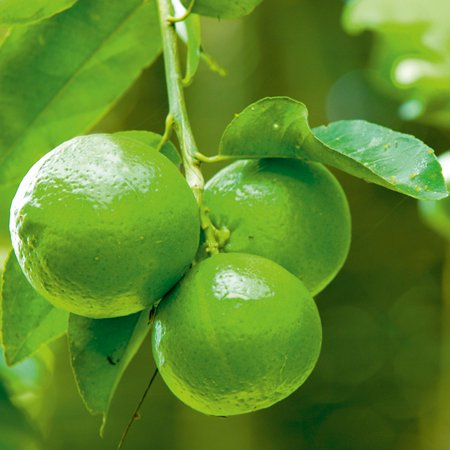 Image of Hawaii Live Plants 3 Gallon Potted Lime Fruit Tree