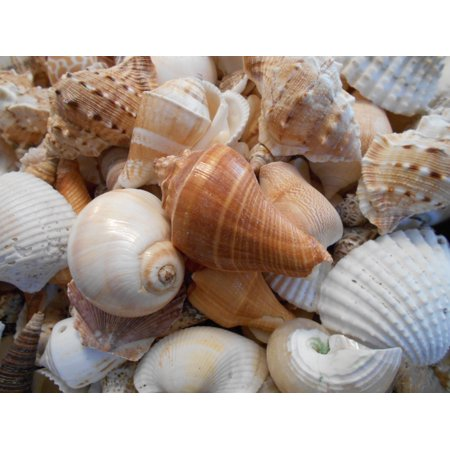 Indian Collage (1 lb Large Indian Ocean Shell Mix Seashells Beach Cottage Decor Nautical Crafts (about 15-20 Real Seashells) )