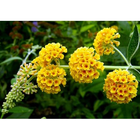 Golden Glow Butterfly Bush - Buddleia - Fragrant - 4
