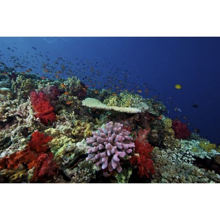 Image of A school of orange basslets on a healthy coral reef in Fiji Canvas Art - Terry MooreStocktrek Images (35 x 23)
