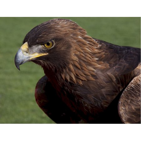 Canvas Print Beak Bird Head Predator Falcon Saker Raptor Stretched Canvas 10 x 14