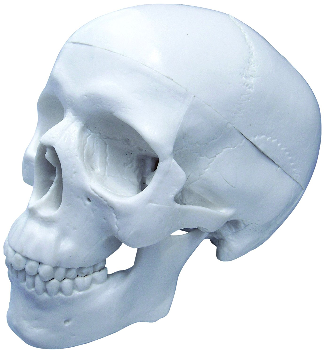 Vision Scientific Human Skull -mini skull 3 parts