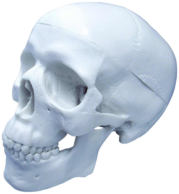 Vision Scientific Human Skull -mini skull 3 parts