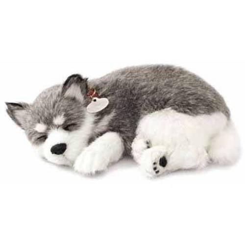 Alaskan Husky Puppy