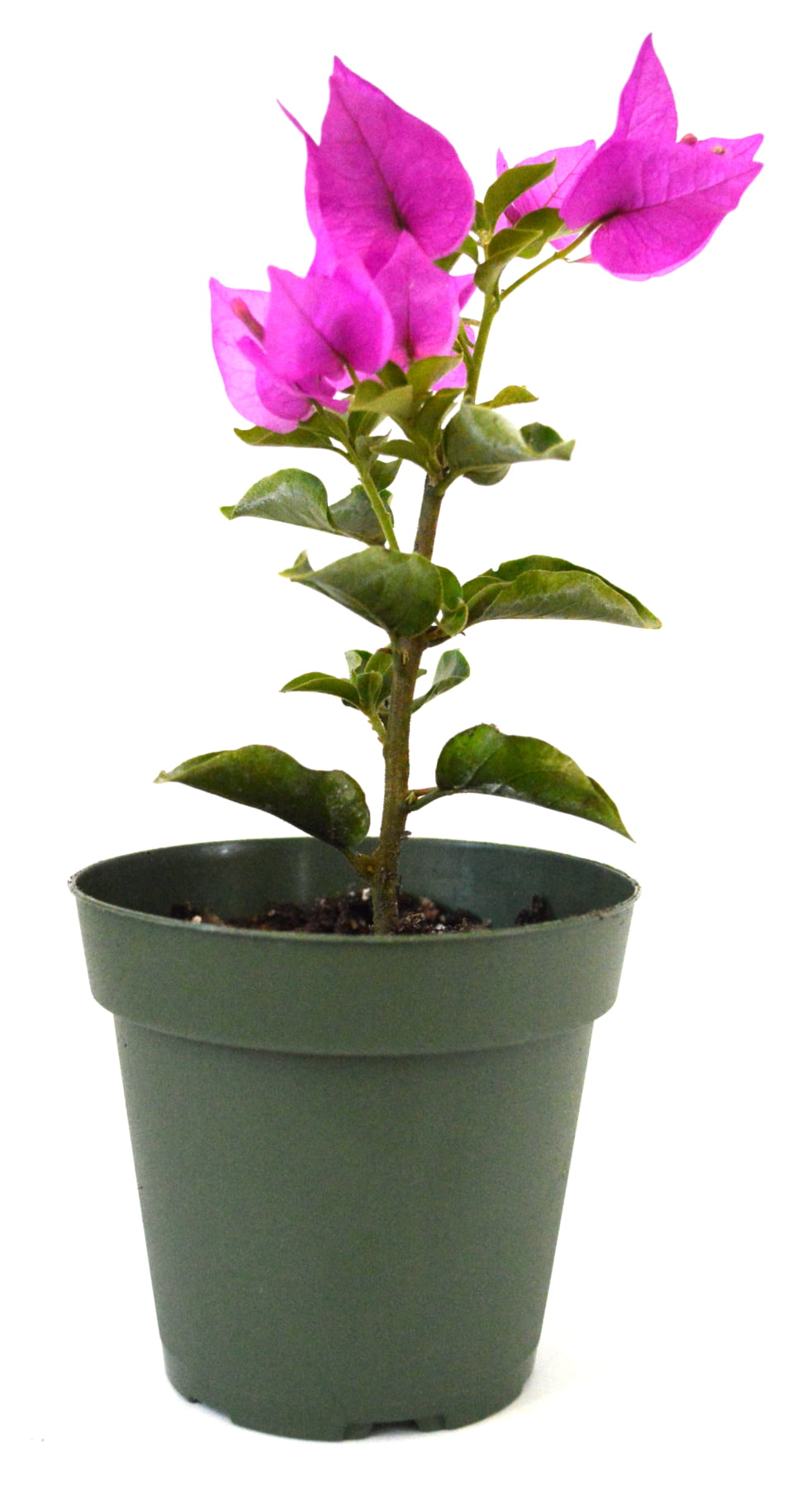 "9GreenBox Royal Purple Bougainvillea Plant -Indoors Out or Bonsai 4"" Pot by 9GreenBox"