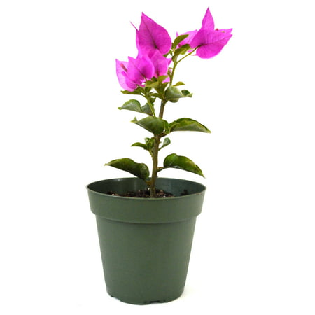 9GreenBox - Royal Purple Bougainvillea Plant -Indoors/Out or Bonsai - 4