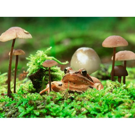 Small Toad Surrounded by Mushrooms, Jasmund National Park, Island of Ruegen, Germany Print Wall Art By Christian Ziegler (Mushroom Toad)