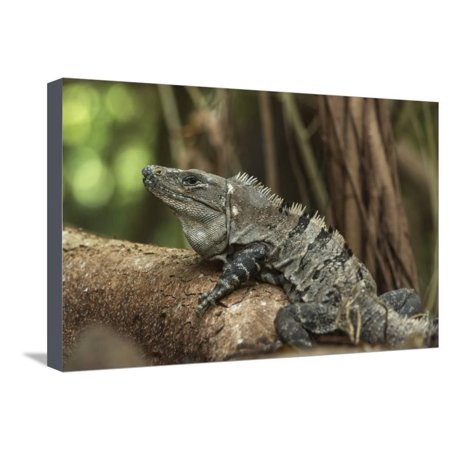 Half Moon Reef - Black Spiny-Tailed Iguana, Half Moon Caye, Lighthouse Reef, Atoll Belize Stretched Canvas Print Wall Art By Pete Oxford