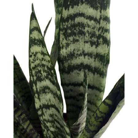 Zeylanica Snake Plant, Mother-In-Law's Tongue - Sanseveria - 2 Plants - 3