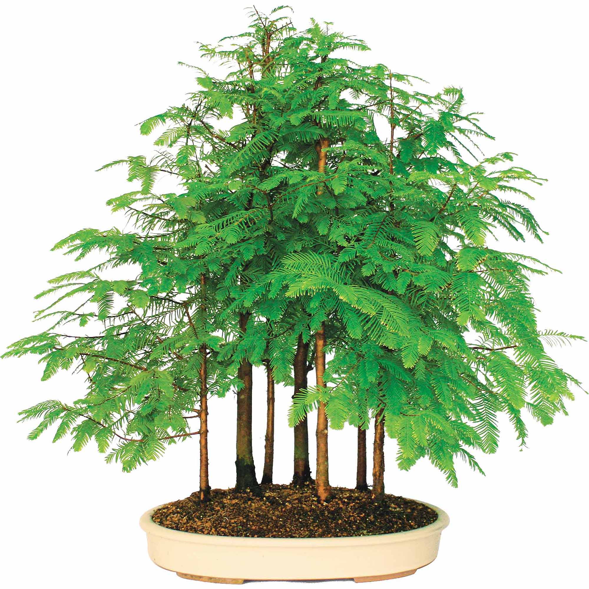 Brussel's Dawn Redwood Grove Bonsai X Large (Outdoor) by Brussel's Bonsai