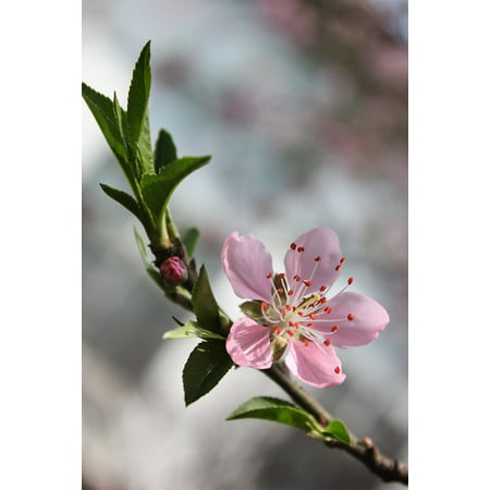 - LAMINATED POSTER Branch Pink Spring Cherry Blossom Peach Blossom Poster Print 24 x 36
