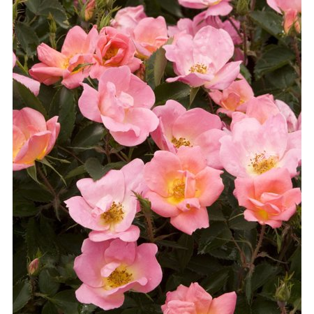 Rainbow Knock Out® Rose Bush - Disease Resistant! - 4