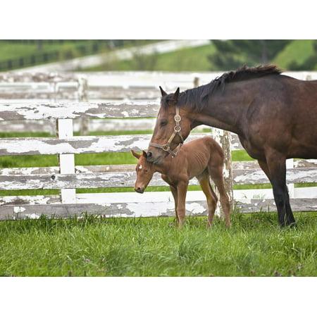 Female Thoroughbred and Foal, Donamire Horse Farm, Lexington, Kentucky Print Wall Art By Adam