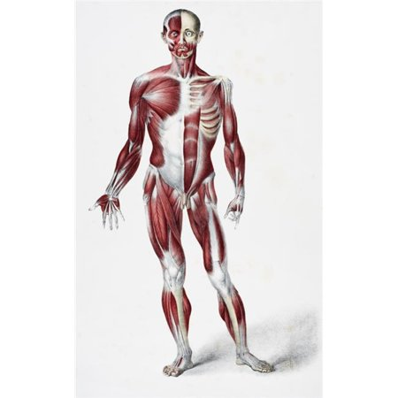 Posterazzi DPI1862428 Front of the Male Human Body Showing Muscles Sinews & Bones From the Vessels of the Human Body Edited by Jones Quain A Poster Print, 11 x