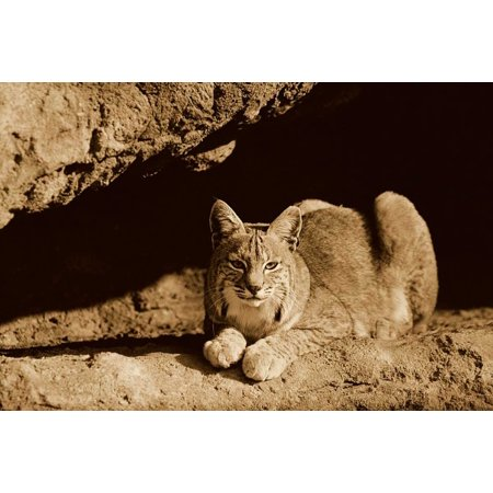 Bobcat adult resting on rock ledge North America - Sepia Poster Print by Tim Fitzharris
