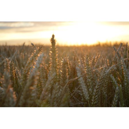 LAMINATED POSTER Nature Grass Sky Field Wheat Hay Landscape Crop Poster Print 11 x