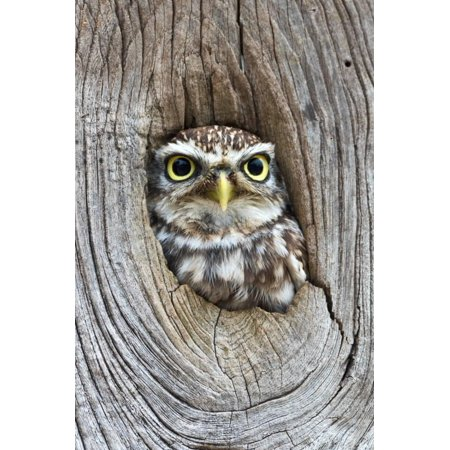Head Shot of Little Owl Looking Through Knot Hole. Taken at Barn Owl Centre of Gloucestershire Print Wall Art By Paul - Bradley Center