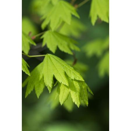 Bright Vine Maple Leaves Acer Circinatum Hamlet Oregon United