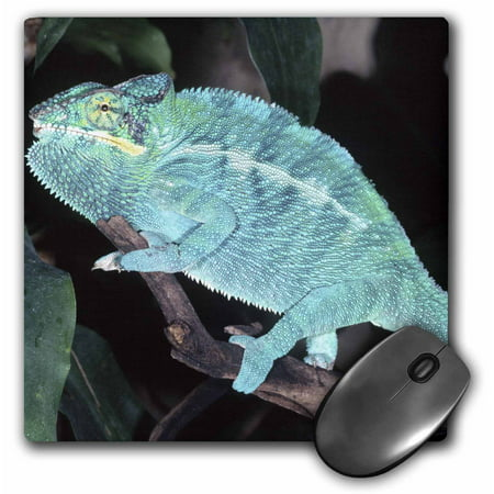 3Drose Nosy Be Blue Phase Panther Chameleon Lizard   Na02 Dno0268   David Northcott  Mouse Pad  8 By 8 Inches