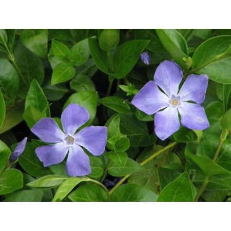 Classy Groundcovers - Vinca major 'Green'  {50 Bare Root plants}
