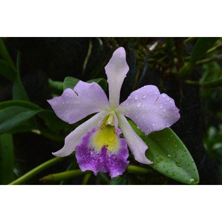 LAMINATED POSTER Singapore Orchids Botanical Garden Poster Print 24 x 36 (Orchid Botanical Prints)
