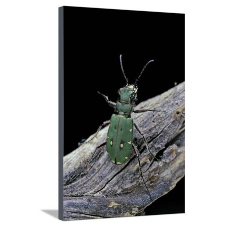 Cicindela Campestris (Green Tiger Beetle) Stretched Canvas Print Wall Art By Paul Starosta ()
