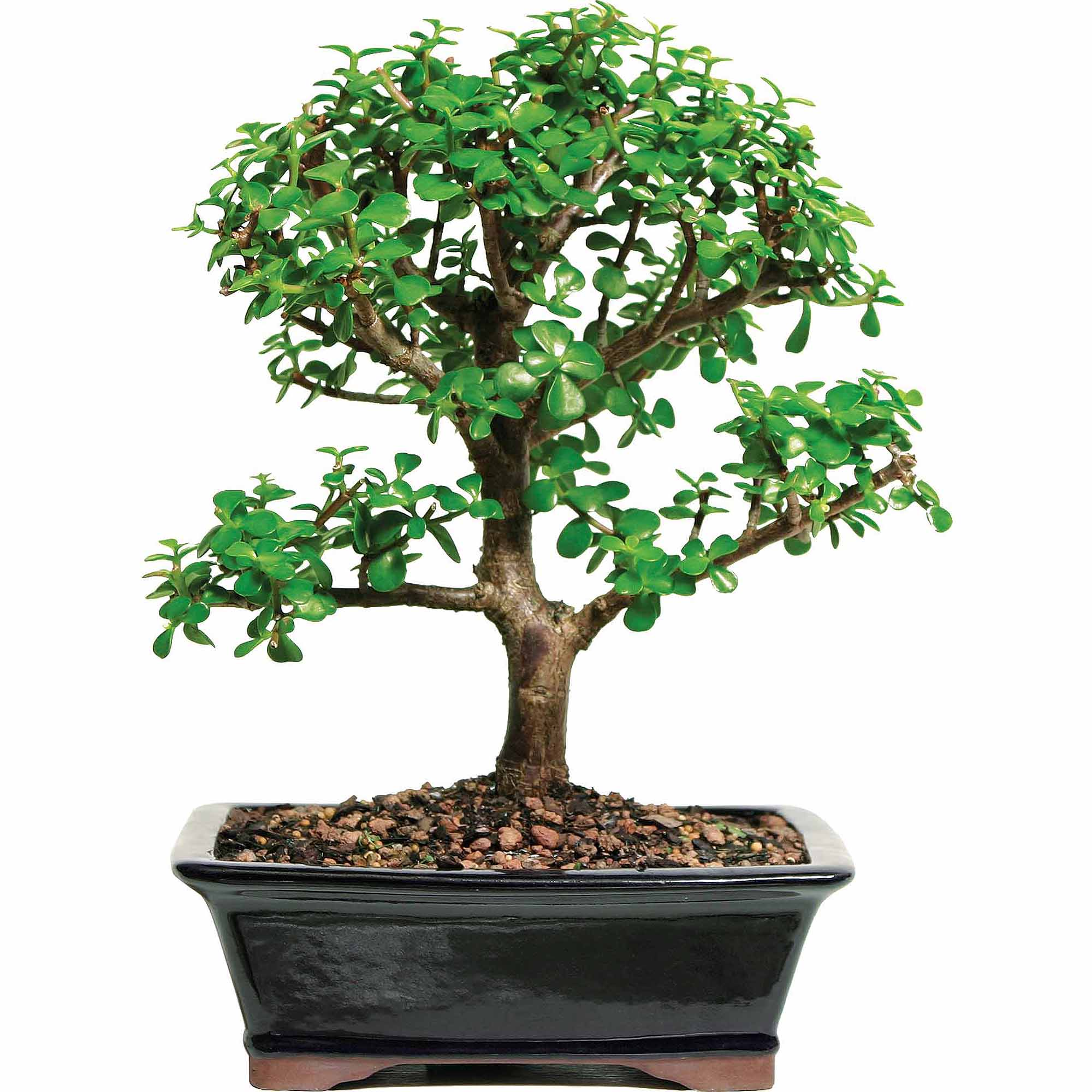 Jade Bonsai Tree by Brussel's Bonsai